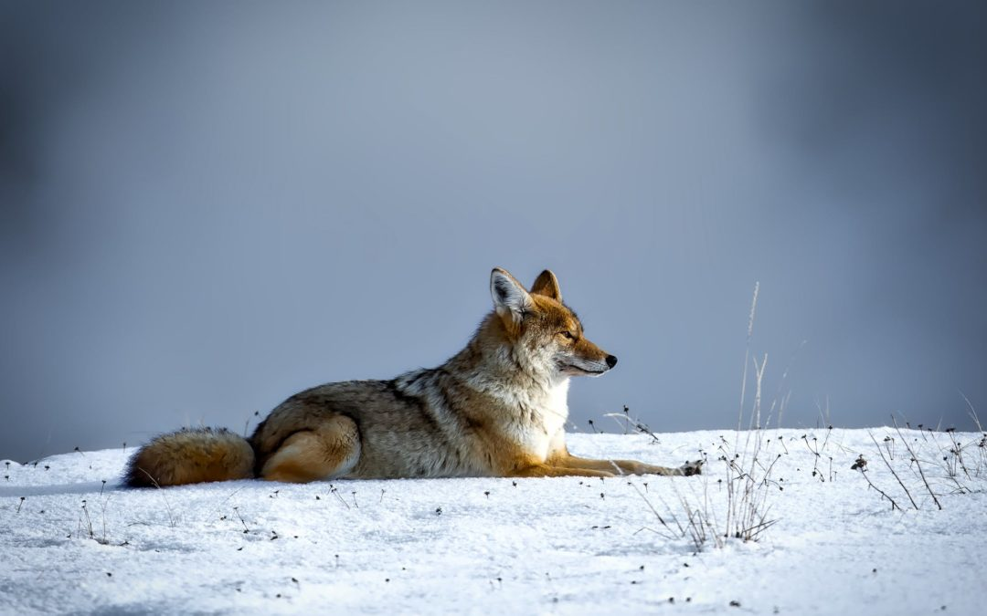 Coyote Hunting Errors You Do Not Want to Make